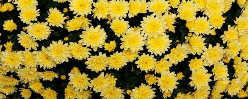 菊花的栽培方法