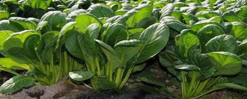 菠菜种植技术