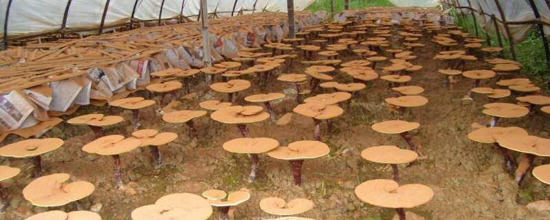 灵芝种植技术
