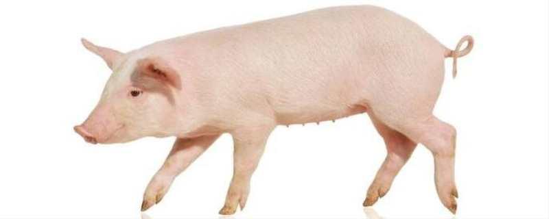 猪蓝耳病的治疗方法