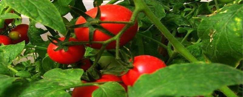 番茄的种植方法